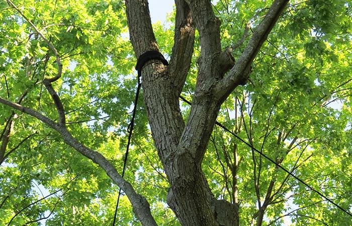 Tree Cabling & Bracing